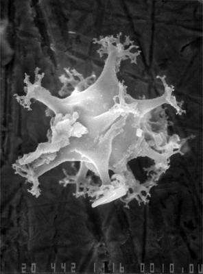 Multiplicisphaeridium sp., GIT 344-242