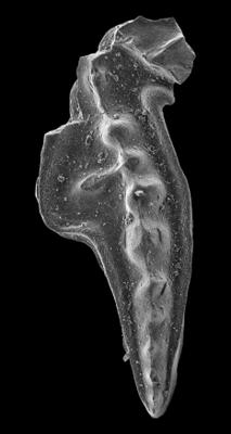 Amorphognathus tvaerensis Bergström, 1962, GIT 549-9