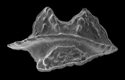 Apsidognathus tuberculatus ssp. n. 1 Männik, 2007, GIT 555-14
