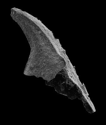 Trapezognathus cf. diprion (Lindström, 1955), GIT 594-108