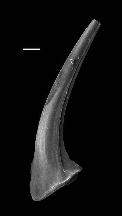 Dapsilodus aff. sparsus Barrick, GIT 793-20