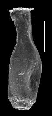 <i><i>Chitinozoa</i> | Lagenochitina cf. longiformis (Obut, 1995)</i><br />Museum of Art excavation section, Kadriorg, 0.30 m, Hunneberg Stage ( 424-91)