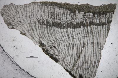 Stigmatella massalis Bassler, 1911, GIT 537-700