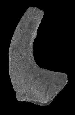 Drepanodus arcuatus Pander, 1856, GIT 594-117