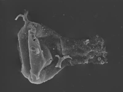 <i><i>Ancyrochitina paulaspina</i></i><br />Kolka 54 borehole, 517.00 m, Jaagarahu Stage ( 754-439)