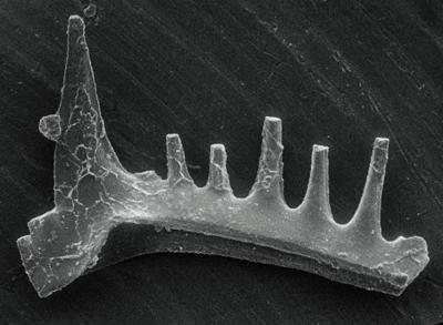 Ozarkodina excavata puskuensis Männik, 1994, GIT 254-8