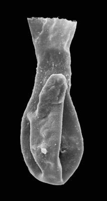 <i><i>Angochitina paucispinosa</i></i><br />Ohesaare borehole, 86.30 m, Kuressaare Stage ( 576-50)