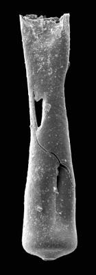 <i><i>Conochitina pachycephala</i></i><br />Pavilosta 51 borehole, 821.00 m, Gorstian ( 576-13)