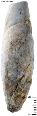 Subulites (Subulites) subula Koken, TUG 1589-889