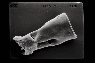 <i><i>Conochitina argillophila</i> | Conochitina cf. argillophila/Conochitina linearistriata</i><br />Ikla borehole, 185.50 m, Jaagarahu Stage ( 754-657)