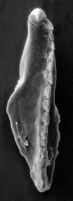 <i>Incisiprion incisus (Kielan-Jaworowska, 1966)</i><br />Apraksin Bor 17 borehole, Leningrad Oblast, 105.50 m, Keila Stage