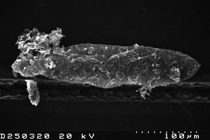 Lunulidia lunula (Eisenack, 1951) Eisenack, 1958, TUG 1526-26