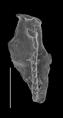 <i>Kaljoprion laevaensis Hints, 2008</i><br />Laeva 18 borehole, 226.35 m, Nabala Stage