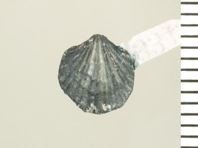 Eospirigerina porkuniana Rubel, 1970, GIT 130-103