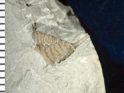 Encrinurus (Encrinurus) balticus Männil, 1978, GIT 177-19