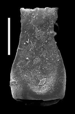 <i><i>Cingulochitina hedei</i></i><br />Pavilosta 51 borehole, 610.00 m, Přidoli ( 607-34)