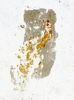 Dartmuthia gemmifera Patten, 1931, TUG 267-73