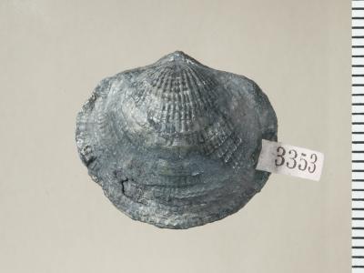 Oglupes visbyensis Copper, 2004, GIT 130-115