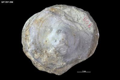 Schlotheimophyllum patellatum (Schlotheim, 1820), GIT 397-398