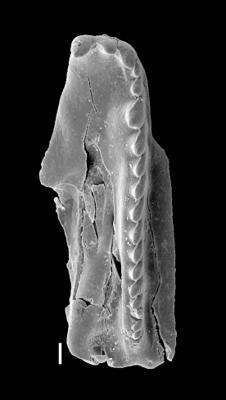 <i>Pteropelta sp. A Hints et Eriksson, 2010</i><br />Vasalemma 758 borehole, 8.65 m, Keila Stage