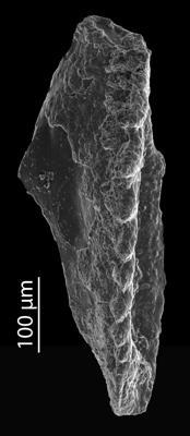 <i>Oenonites aff. wyszogrodensis</i><br />Blankenheimerdorf section, Eifel region,  m, Eifelian