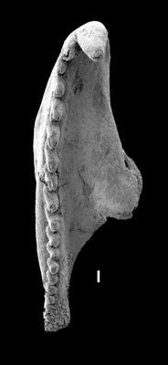 <i>Ramphoprion cf. ineptus</i><br />West Anticosti coastal outcrops, Canada,  m, Katian