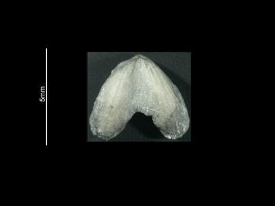 Dicoelosia aff. osloensis Wright, 1968, GIT 37-1