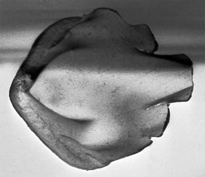 Goniporus alatus (Gross, 1947), GIT 232-283