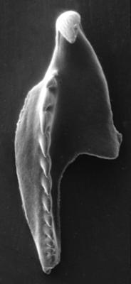 <i>Leptoprion sp. A Hints, 1998</i><br />Rapla borehole, 145.60 m, Keila Stage