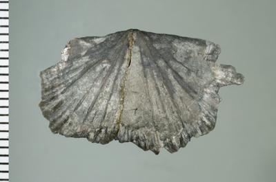 Reuschella magna Hints, 1975, GIT 207-112