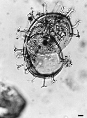 Ordovicidium paucifurcatum (Eisenack, 1959) n. comb., GIT 344-234