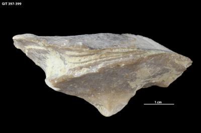 Schlotheimophyllum patellatum (Schlotheim, 1820), GIT 397-399