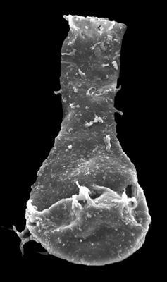 <i><i>Ancyrochitina paulaspina</i></i><br />Kolka 54 borehole, 533.00 m, Jaani Stage ( 546-59)