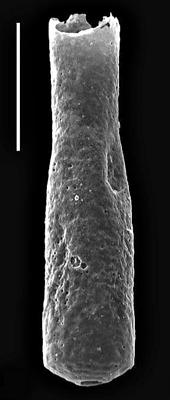 <i><i>Conochitina viruana</i></i><br />Velise V-97 borehole, 209.20 m, Kukruse Stage ( 718-8)