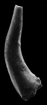 Eoconodontus notchpeakensis (Miller, 1969), GIT 271-13