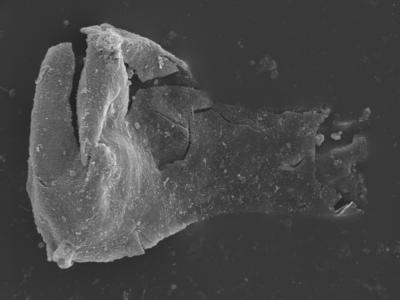 <i><i>Plectochitina spongiosa</i></i><br />Kolka 54 borehole, 640.80 m, Raikküla Stage ( 754-404)