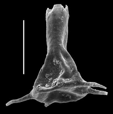 <i><i>Ancyrochitina primitiva</i></i><br />Paatsalu 527 borehole, 91.45 m, Llandovery ( 493-21)