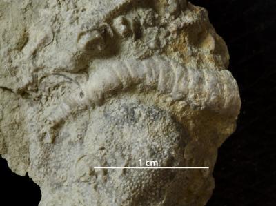Cornulites sp., GIT 421-32