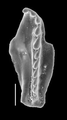 <i>Pteropelta kielanae (Hints, 1998)</i><br />Metsküla F-198 borehole, 35.12 m, Jõhvi Substage