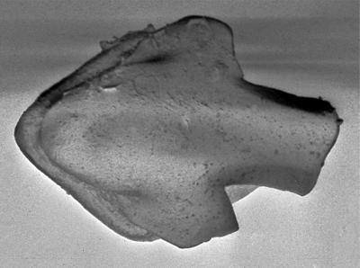 Goniporus alatus (Gross, 1947), GIT 232-284