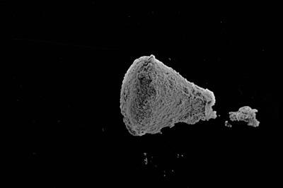 <i><i>Ancyrochitina brevispinosa</i> | Ancyrochitina cf. brevispinosa</i><br />Kaugatuma 509 borehole, 51.40 m, Paadla Stage ( 754-758)