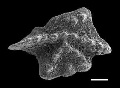 Apsidognathus tuberculatus Walliser, 1964, GIT 493-58