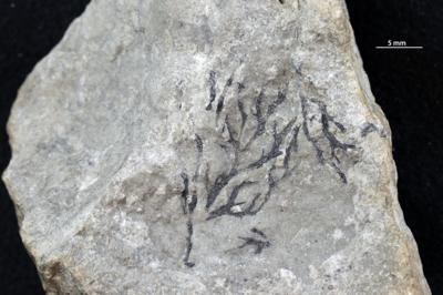 Wimanicrustidae