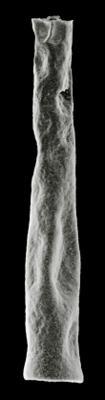 <i><i>Chitinozoa</i> | Conochitina cf. elegans Eisenack, 1931</i><br />Hullo 385 borehole, 25.50 m, Vormsi Stage ( 306-12)