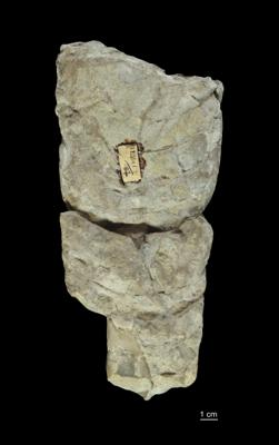 Nautiloidea