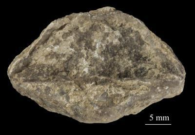 Estlandia marginata (Pahlen, 1877), ELM G1:5047