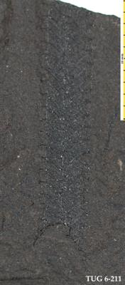 Retiolites geinitzianus Barrande, 1850, TUG 6-211