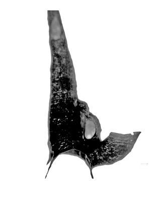 Orthograptus quadrimucronatus (Hall, 1865), GIT 709-2