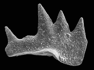 Ctenognathodus jeppssoni Viira et Einasto, 2003, GIT 371-8