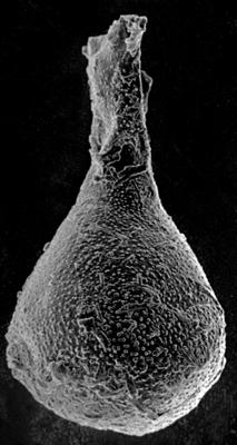 <i><i>Chitinozoa</i> | Angochitina? sp.</i><br />Nitaure borehole, 673.40 m, Raikküla Stage ( 272-56)